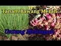 Gambar cover Tanam Bawang Merah| Bawang Bima Brebes