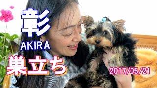 【ヨークシャーテリア専門犬舎チャオカーネ】 2017年1月20日生まれ・彰 ...