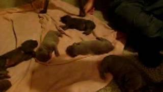 Weimaraner Puppy Video #2