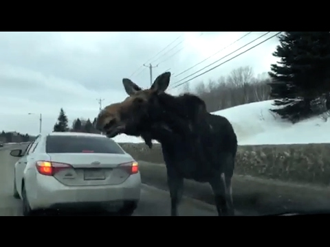 'Excuse me', moose clears traffic on Quebec road