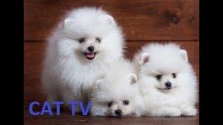 phốc sóc pomeranian siêu tinh nghịch - siêu dễ thương | chó mèo hài hước - cats tv