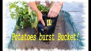 Grow Potatoes   Potatoes Bursting Bucket Potato Reveal