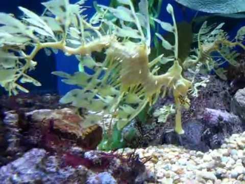 Sea dragon :Long Beach Aquarium Masahiko IkedaMOV09176MPG