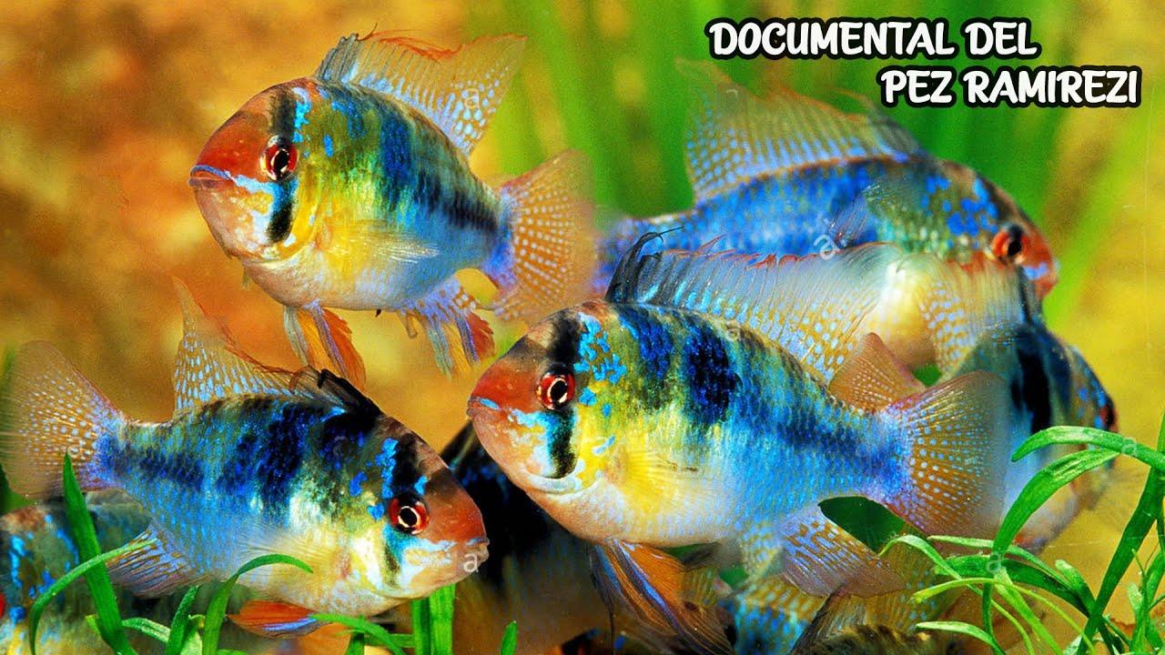 DOCUMENTAL DEL PEZ RAMIREZI | Reproducción, Habitad, Alimentación | AcuariosLP