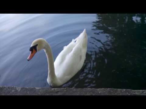 Белый лебедь символ  любви и верности !