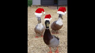 Domestic ducks and canadian geese in summer