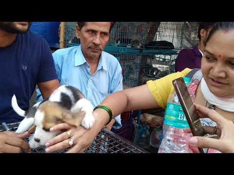 So Cute Labrador & Beagle Puppy For Sale At Galiff Street L Price 18k