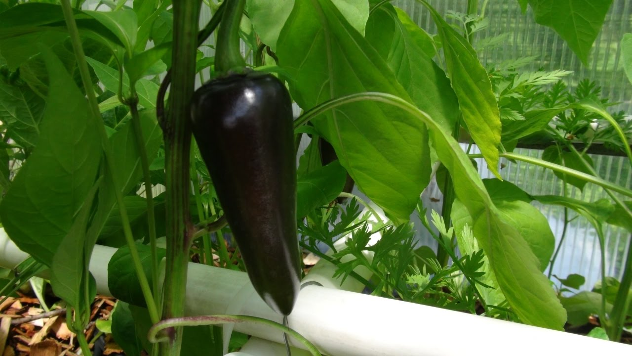 black hungarian pepper capsicum annuum taste test pepper. Black Bedroom Furniture Sets. Home Design Ideas
