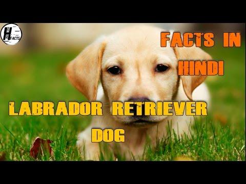 Labrador Retriever Dog Facts | Hindi | Dog Facts | HINGLISH FACTS