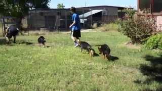 German Shepherd Puppies Dallas - Von Der Otto German Shepherds