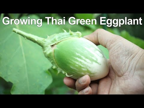How To Grow Green Eggplant / Green Brinjal - Thai Eggplant Growing