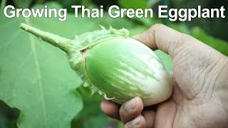 Growing Green Eggplant - Crunchy & Creamy!
