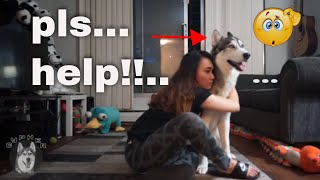 Hugging my dog for too long | husky funny reaction