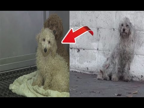 Homeless Poodle Who Just Realized Shes Being Rescued Has The Sweetest Response Ever