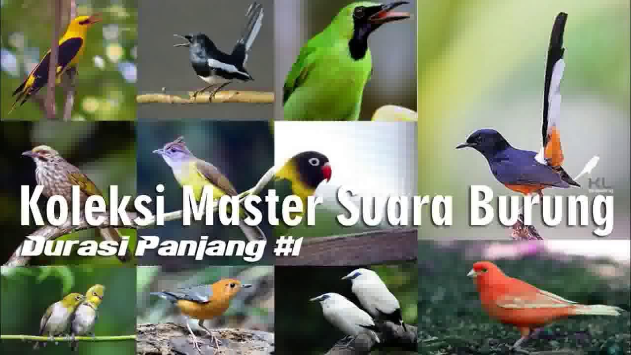 Koleksi Masteran Suara Kicau Burung Lengkap Durasi Panjang 1