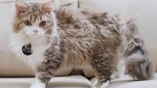 Селкирк Рекс ➠ Узнайте все о породе кошек