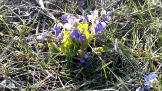фиалка садовая -  violet in the woods Ukarinskom