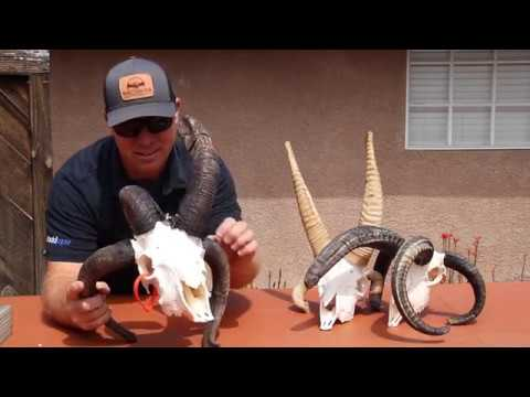 FREAKY FOUR HORN SKULL CLEANING