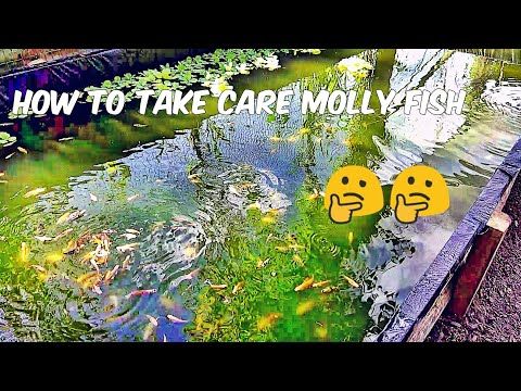 How To Take Care Molly Fish [ What Is Molly Fish ]