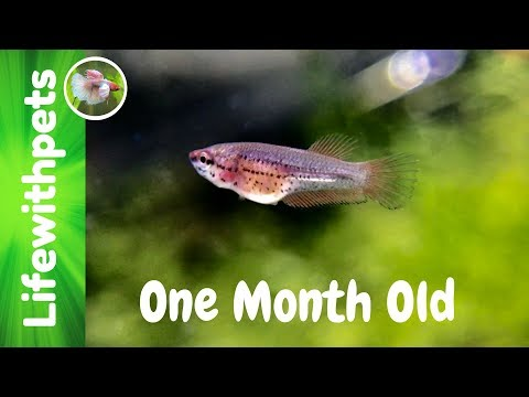 Betta Fish Growth From Birth To One Month Old