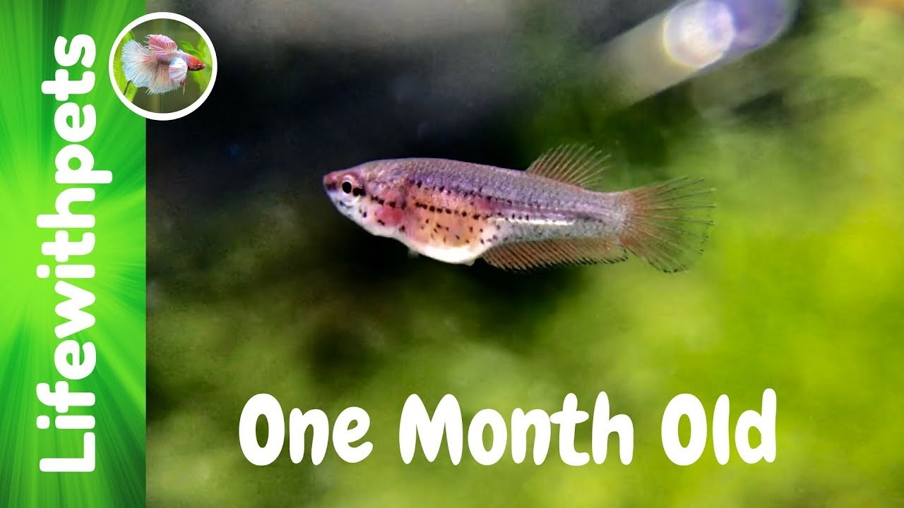 Betta Fish Growth From Birth to One Month Old - YouTube