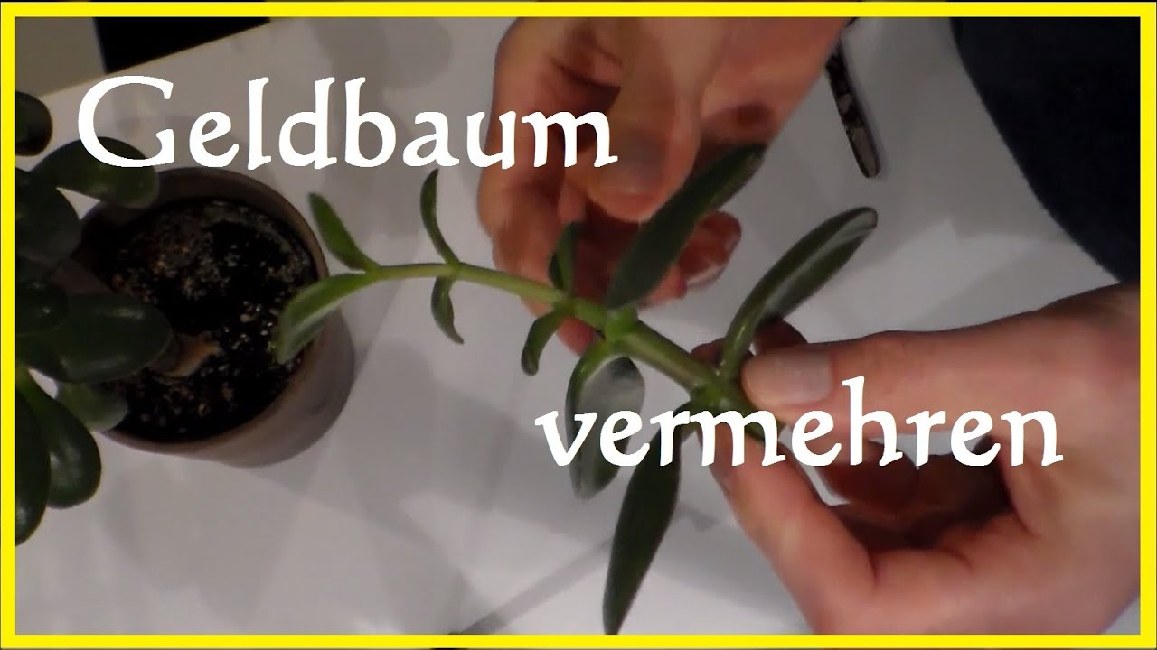 geldbaum vermehren geldbaum bonsai steckling ableger bewurzeln pfennigbaum ableger youtube. Black Bedroom Furniture Sets. Home Design Ideas