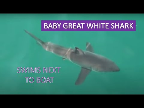 Baby Great White Shark Off Newport Beach Viewed On Whale Watching Cruise