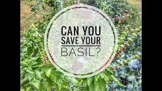 How To Prune Basil Back To Life