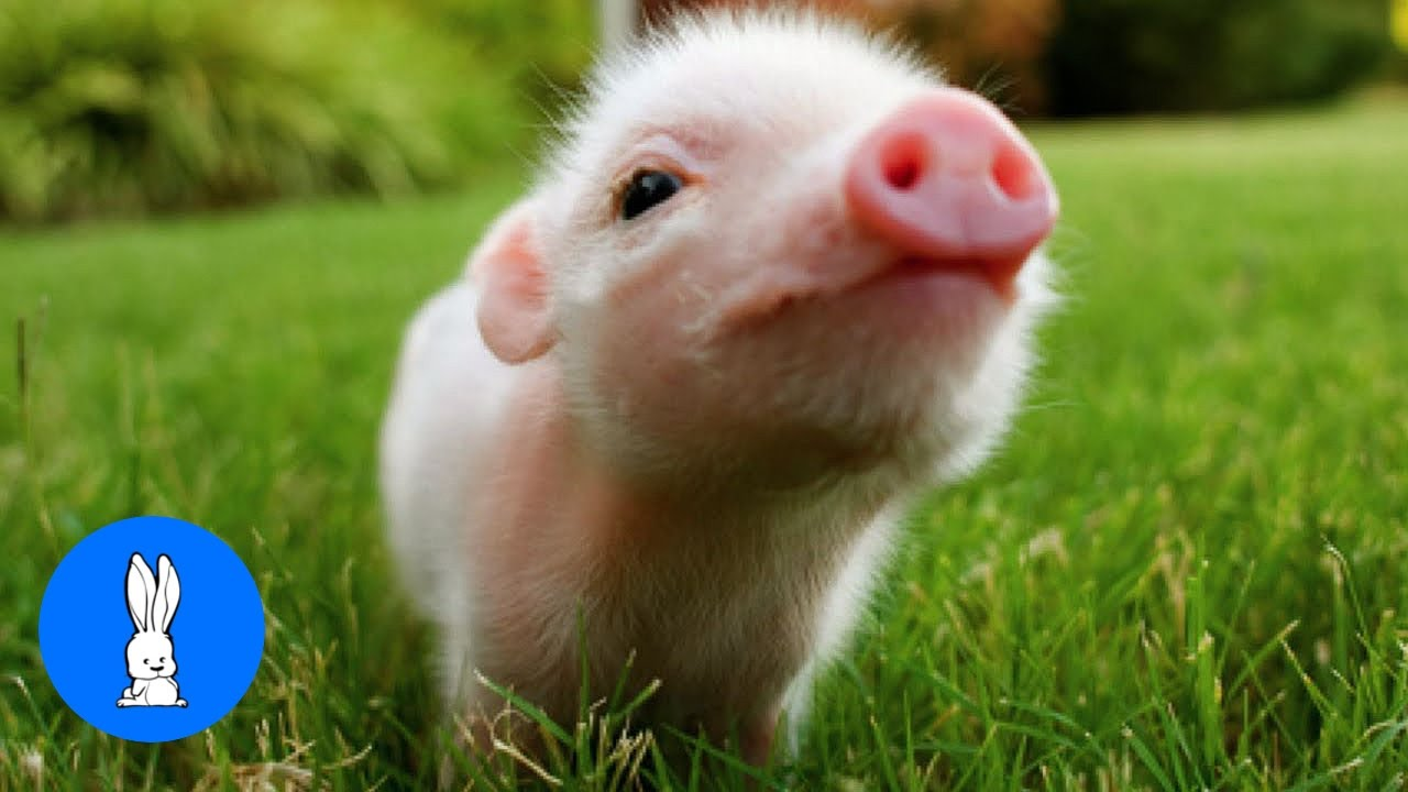 cute baby micro teacup pig best compilation youtube