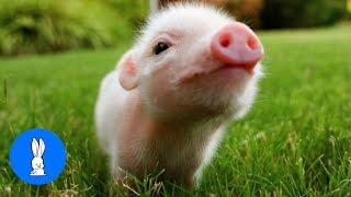 Cute Baby Micro Teacup Pig - BEST Compilation!