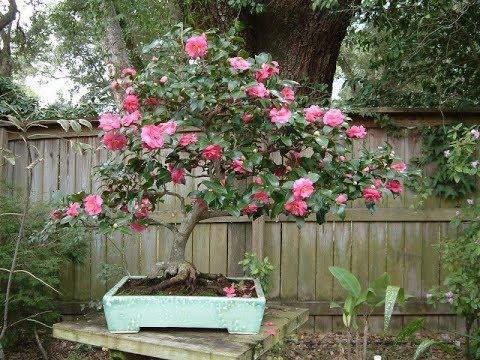 Camellia Sasanqua Bonsai Tree Shishi