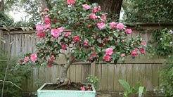 Camellia Sasanqua Bonsai Tree (Shishi Gashira)