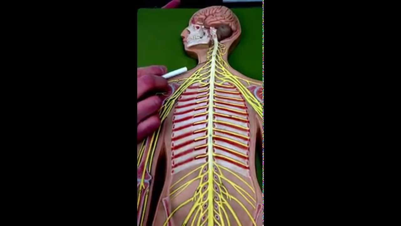 CRYDER\'S: Brachial Plexus Model Breakdown - YouTube