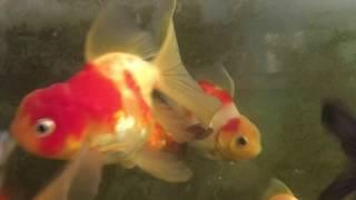金魚が踊る様に泳いでいます。 thumbnail
