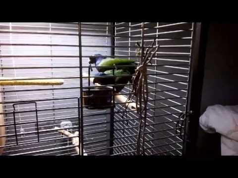 синеголовый черноухий бразильский попугай, пионус