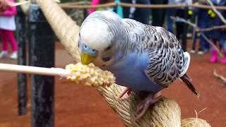 Maya feeds Budgerigar Colorful Birds @ The Turtle Back Zoo West Orange NJ USA May 12 2018 ---