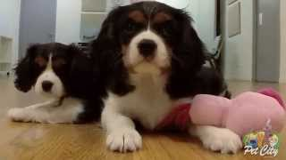 Cavalier King Charles Playing At Pet City