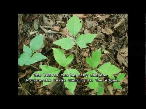 How to Identify Poison Ivy - Easy Toxic Plant Identification