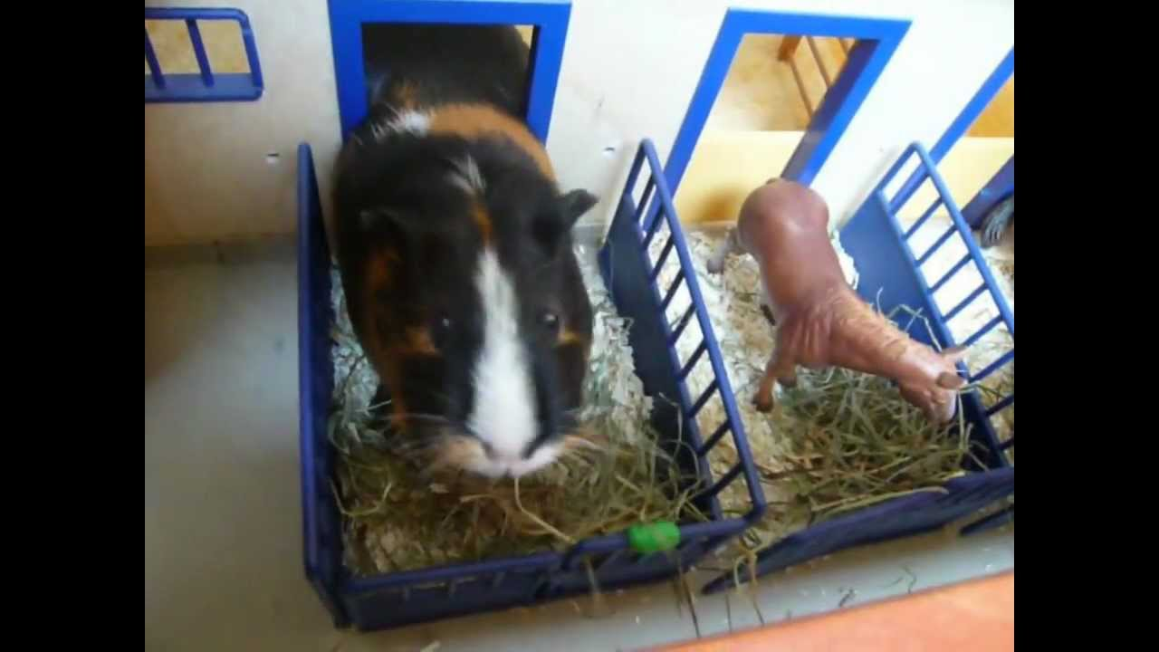 meerschweinchen vs pferdestall youtube. Black Bedroom Furniture Sets. Home Design Ideas