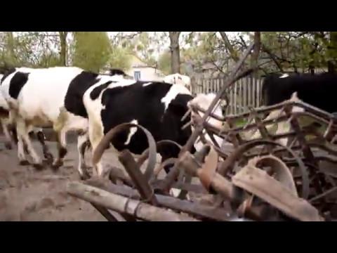 Овес — полезные свойства и применение отвара овса, овес