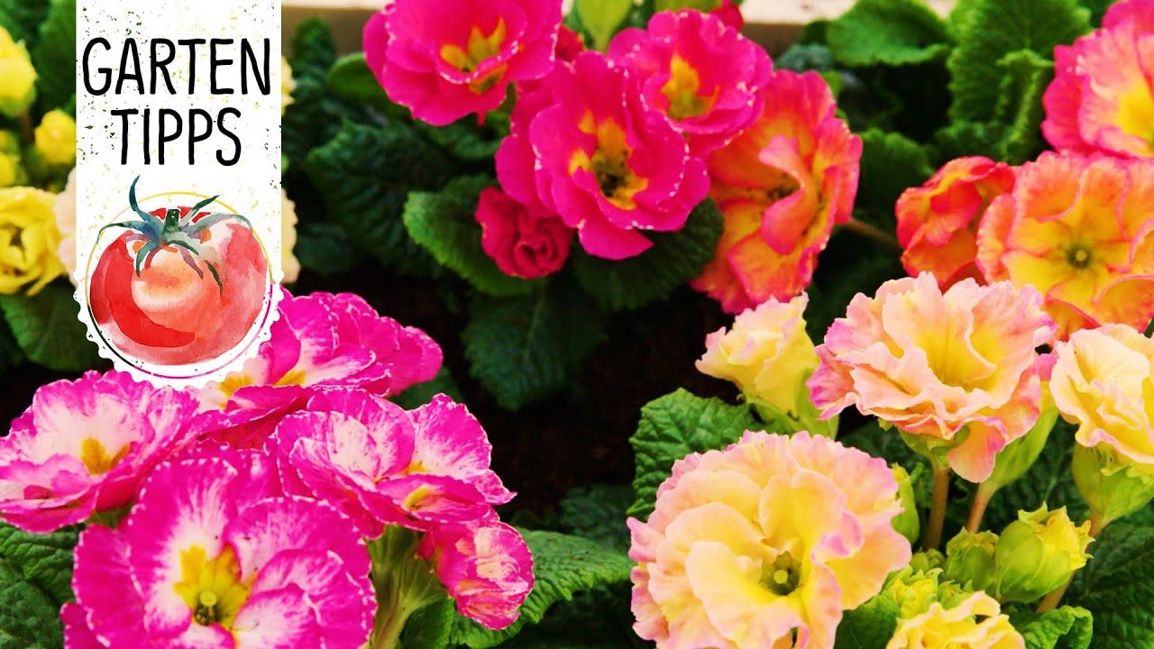 Diy Fruhlingsbepflanzung Mit Bunten Primeln Fruhlingserwachen