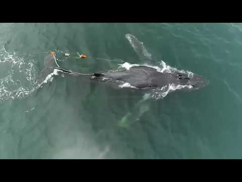 Saving Whales Entangled In Fishing Gear