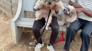 shih tzu , Lhasa Apso dog breeds