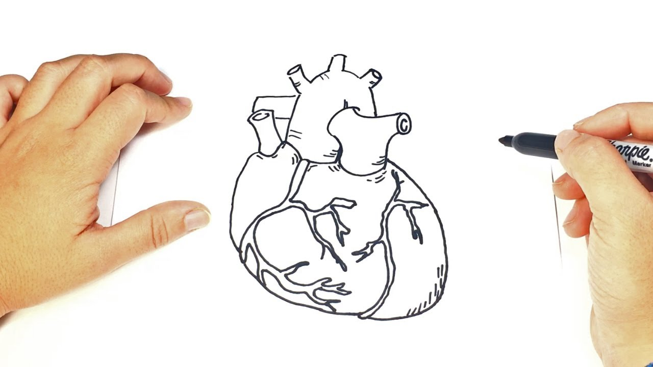 Como Dibujar Un Corazon Humano Paso A Paso Corazón De Verdad Youtube