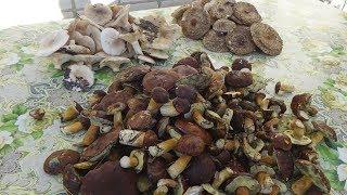 Грибная охота (поездка за грибами). Что мы нашли?