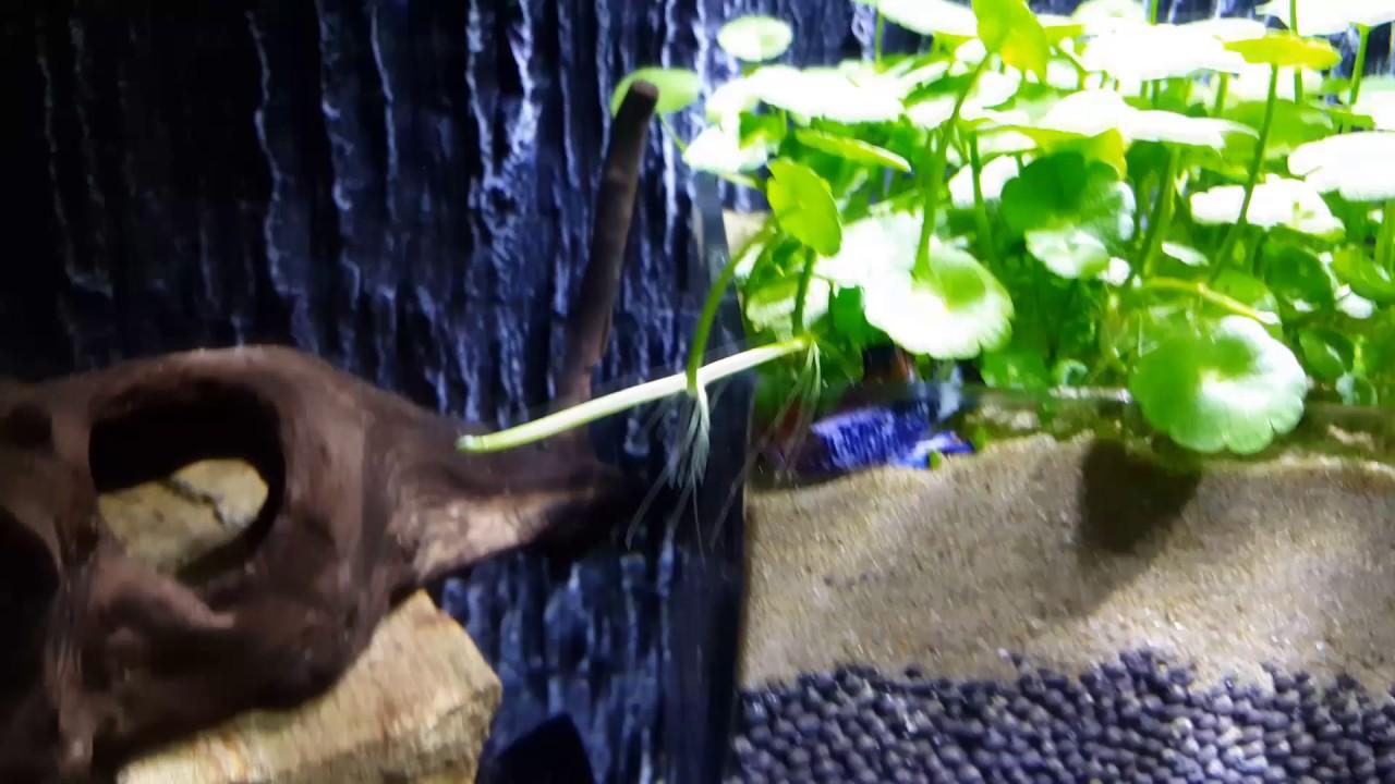 Betta Fish Sleeping Weirdly Youtube