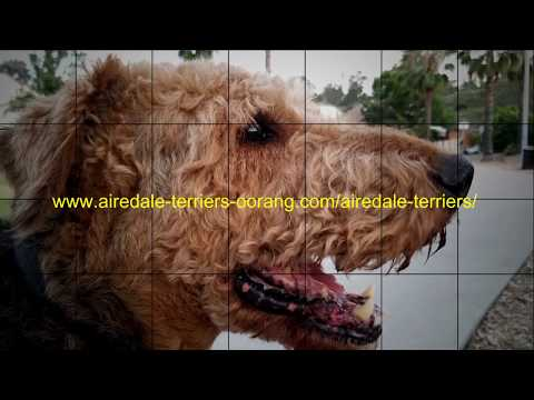 Larger Airedales