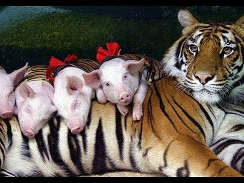 Shy Tigress Loves To Spend Time With Her Piglet Babies...