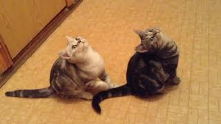 Продаются британские котята  шоколадная мраморная девочка и серебристый мальчик