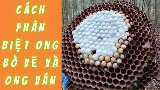 Cách Phân Biệt Ong Bò Vẽ Và Ong Ván Để Treo Tổ Đúng Tư Thế | Rừng Xanh Bí Ẩn |